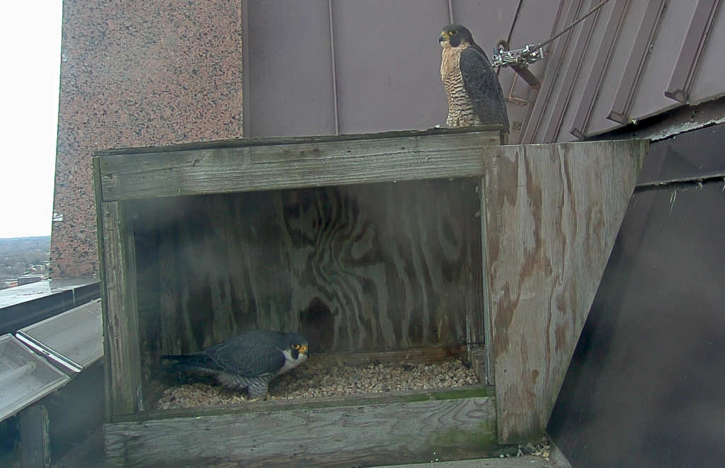 The Richmond peregrine falcon pair.