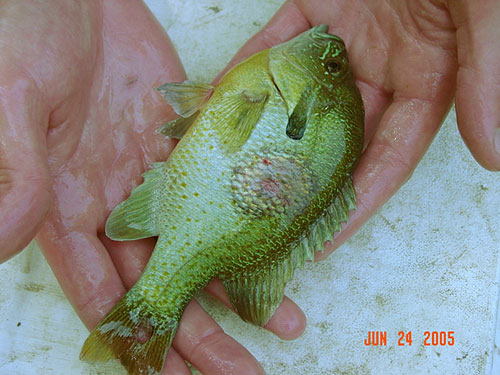 Redbreast sunfish with circular lesion (in the early stages).