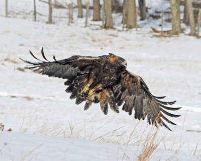 adult-golden-eagle-in-flight-large