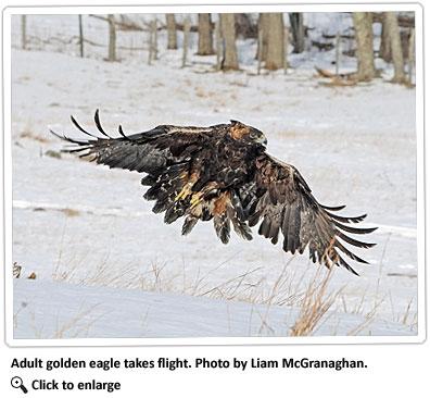 adult-golden-eagle-in-flight