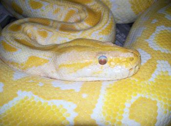 albino-burmese-python