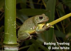barking-treefrog