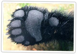black-bear-paw