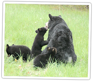 black-bear-with-cubs