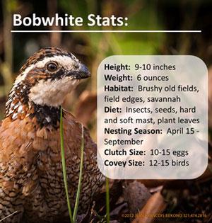 bobwhite-stats