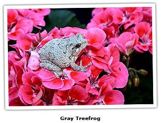 capgraytreefrog