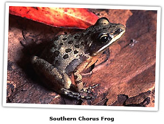 capsouthernchorusfrog