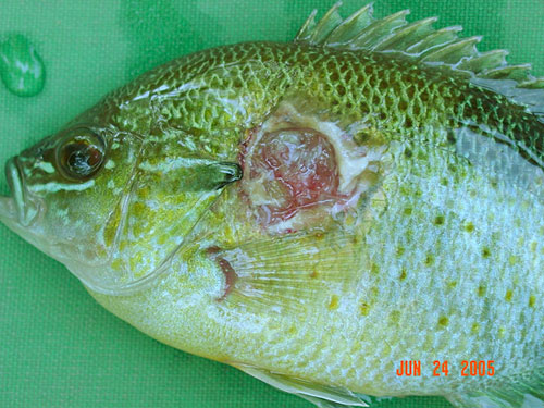 Bacterial lesion on a redbreast sunfish.