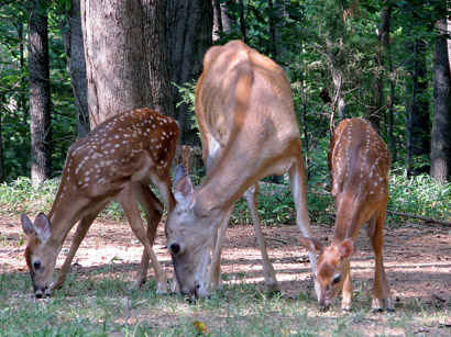 doe-and-fawns