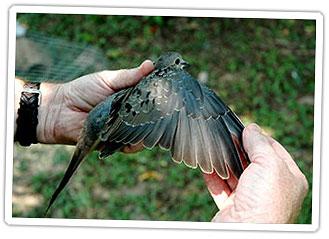 dove-banding1