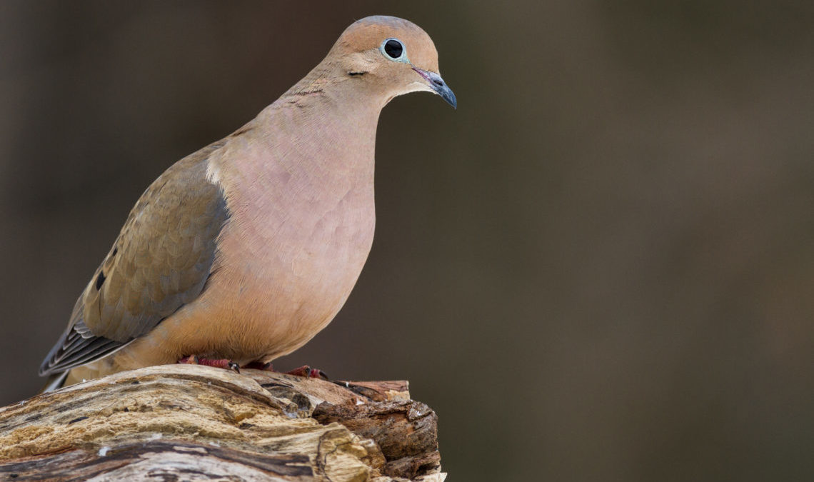 Virginia Dove Hunting Forecast