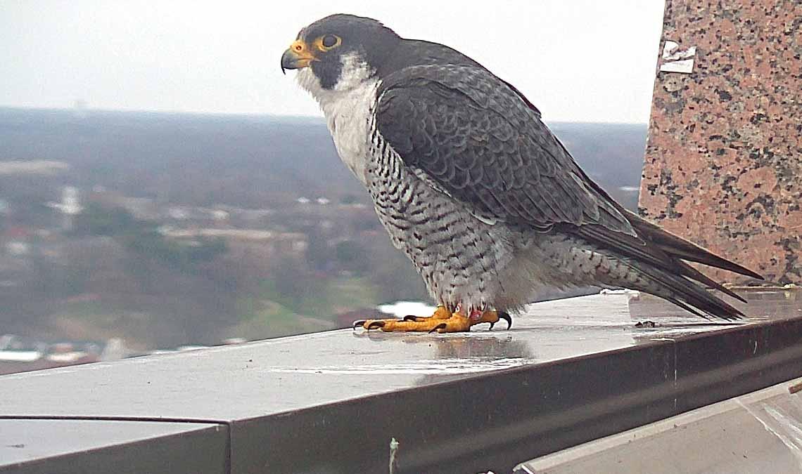 The 2018 Richmond Falcon Cam is Live!
