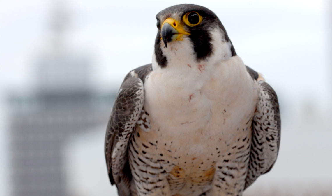 Watch the Falcon Cam LIVE!