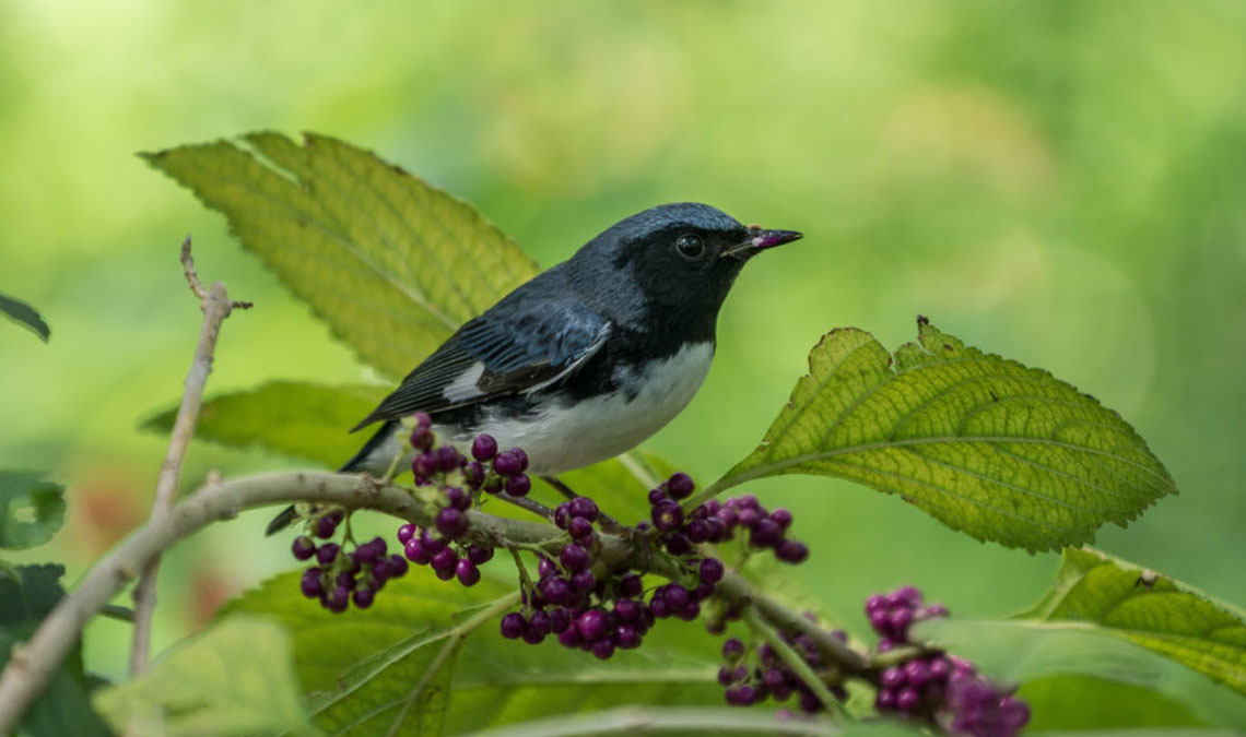 Fall Migration is Reaching its Peak! Visit the Virginia Bird & Wildlife Trail to View Migrating Birds