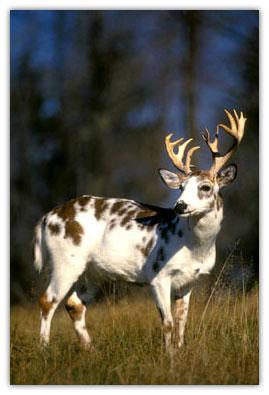 faq-piebald-deer