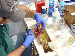Figure 2. Collecting histopathology samples from a smallmouth bass.