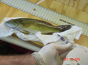 Figure 3. Taking a blood sample from a live adult smallmouth bass.