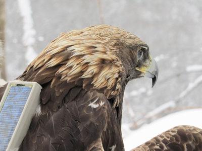 golden-eagle-with-transmitter-large
