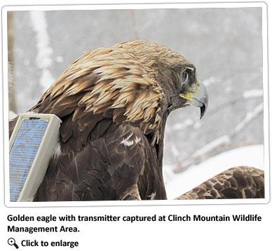 golden-eagle-with-transmitter
