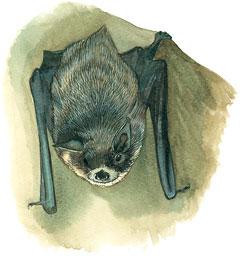 gray-bat