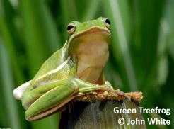 green-treefrog