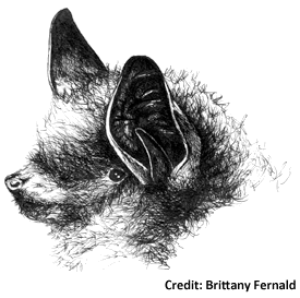 Little Brown Bat Drawing