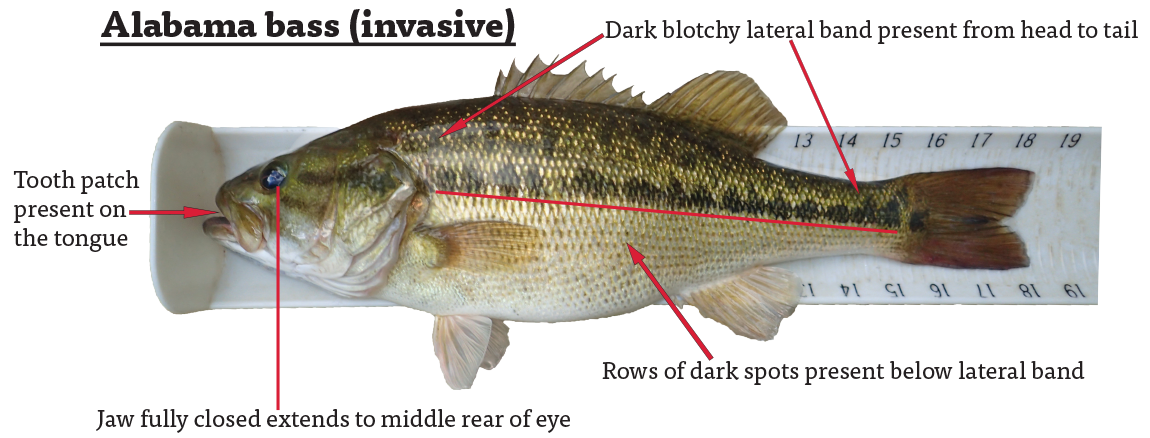 The invasive Alabama Bass has a dark blotchy lateral band present from head to tail, a tooth patch present on the tongue, a jaw—when fully closed—extends to the middle rear of the eye, and rows of dark spots below the lateral band.