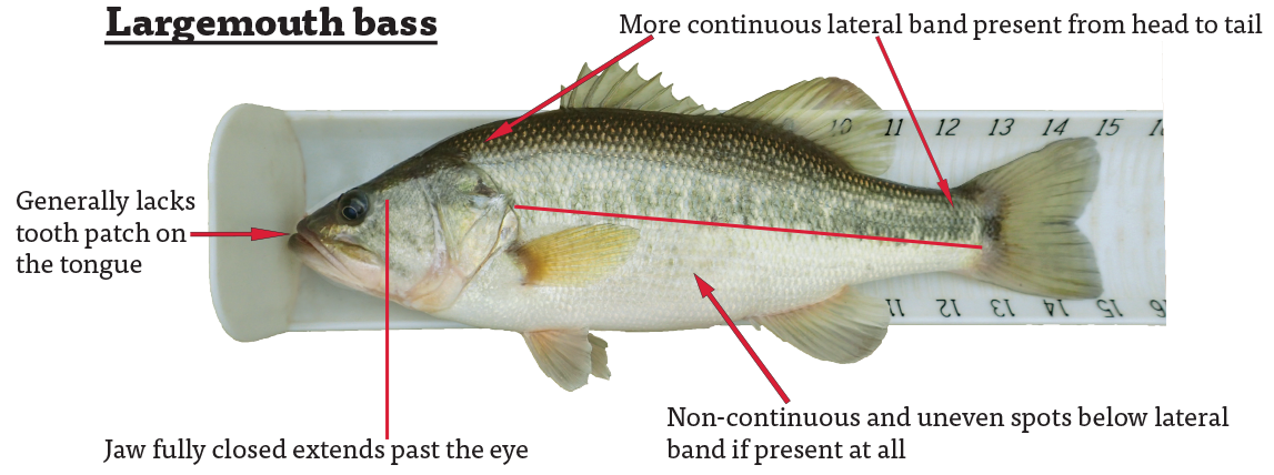 The largemouth bass generally lack a tooth patch on the tongue, has more continuous lateral band present from head to tail, a jaw—when fully closed—that extends past the eye, and non-continuous and uneven spots below the lateral band, if present at all.