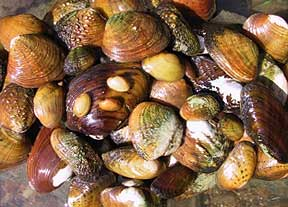 Freshwater Mussels