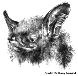 Northern Long-Eared Bat Drawing