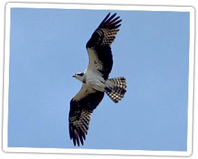 osprey-in-flight