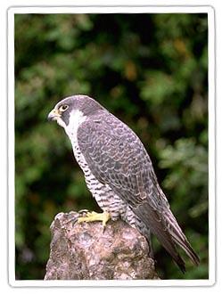 peregine-falcon1