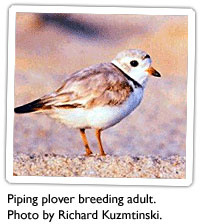piping-plover-1