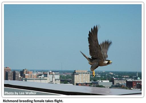 richmond-falcons