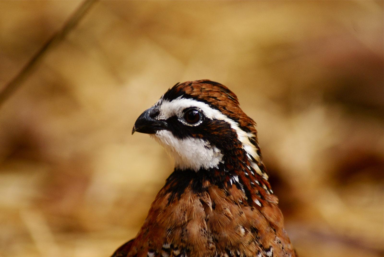 A bobwhite quail.