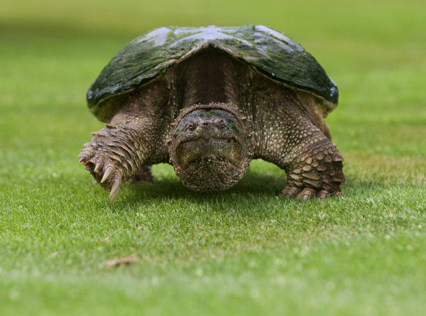 New Regulations To Protect Virginia S Snapping Turtles Virginia Dwr