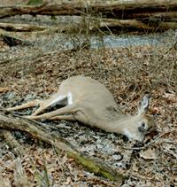 sick-deer