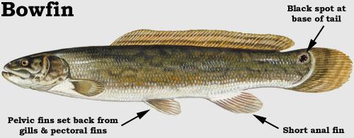 Snakehead: Bowfin