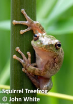 squirrel-treefrog