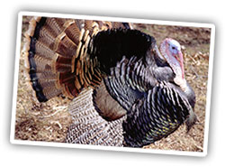 turkeysplash