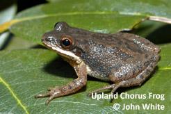 upland-chorus-frog