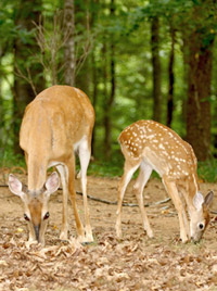 white-tailed-deer-doe-and-fawn