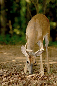 white-tailed-deer-in-velvet